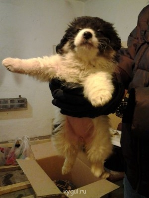 СРОЧНО 2 щенка в дар - 20130122_205338.jpg